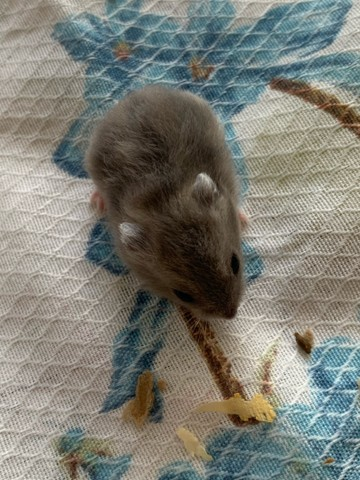hamster anao russo - Foto 3