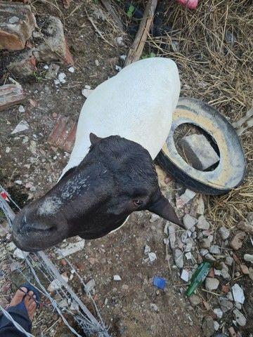 Ovelhas e reprodutor dopper - Foto 2