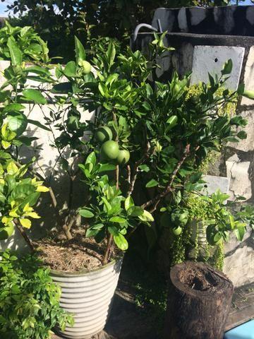 Árvores Frutíferas em Jarros (Laranja e Sapoti)