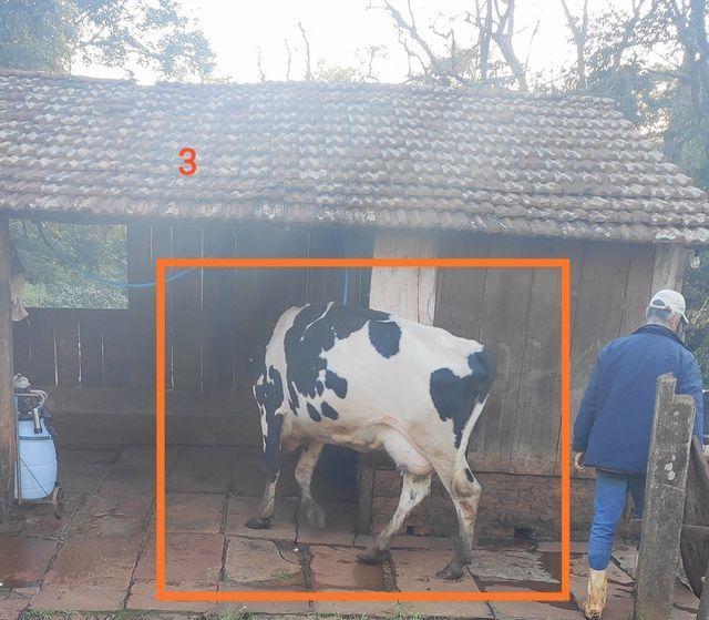 Vacas de produção leiteira - Foto 4