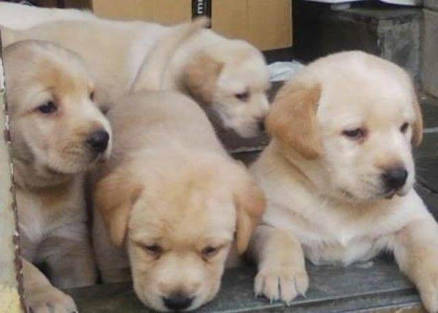 Filhotes de Labrador Champanhe Macho Parrudos