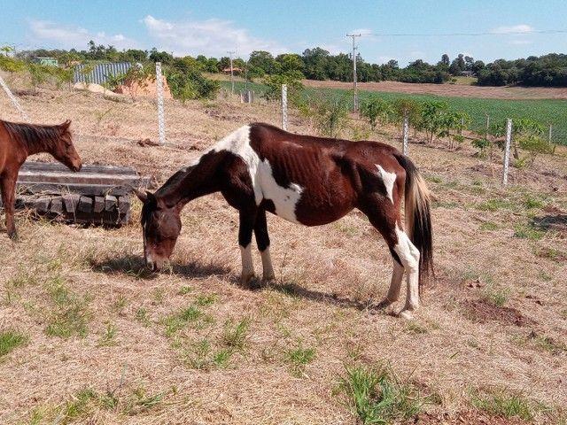 Cavalos eguas manga larga - Foto 3