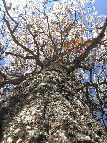 Mudas de ipê-branco (Tabebuia roseoalba) - Foto 3
