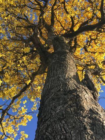Mudas de espécies cinco espécies diferentes de ipê-amarelo - Foto 2