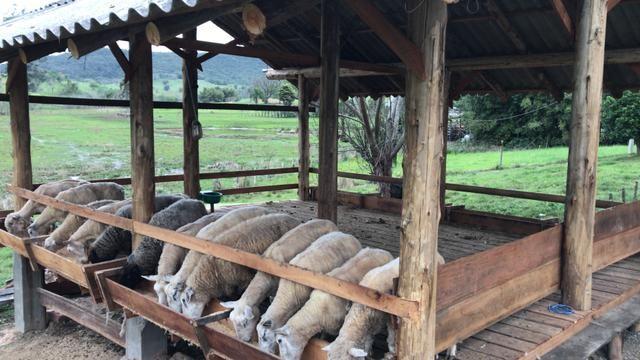 Ovelhas e borregos para abate