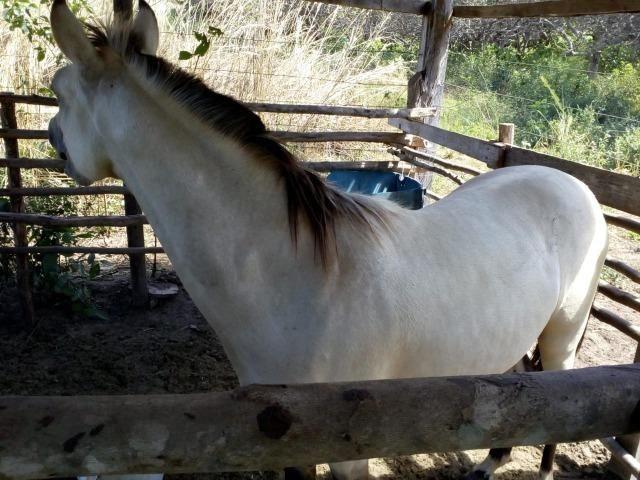 Vende-se cavalo mestiço de quarto de milha - Foto 4