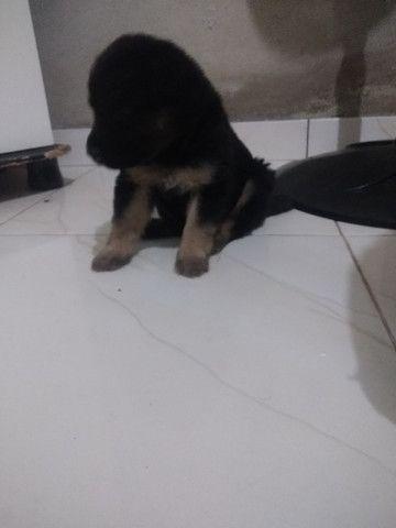 Vendo filhote de pastor alemão - Foto 3
