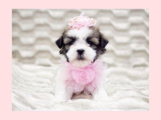 Filhote de shihtzu bicolor fêmea disponível na loja - Fotos reais  - Foto 3