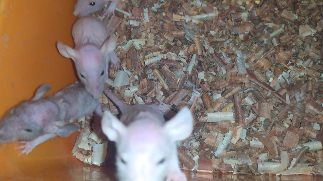 Twister Hairless Funny  - Foto 4