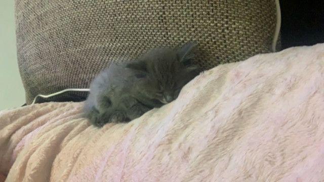 Vendo gatinha persa filhote - Foto 2