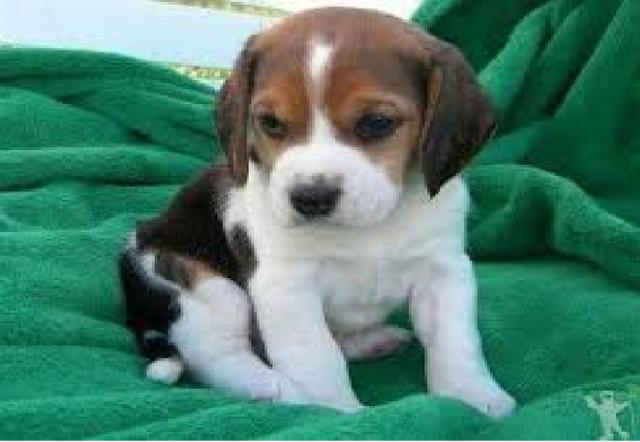 Beagle (Filhote legítimo da raça Beagle)