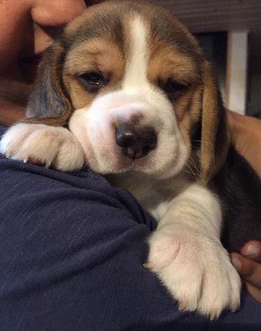Os Mas Lindos!! Beagle 13 Polegadas com Pedigree ++ Garantia de Saúde - Foto 2
