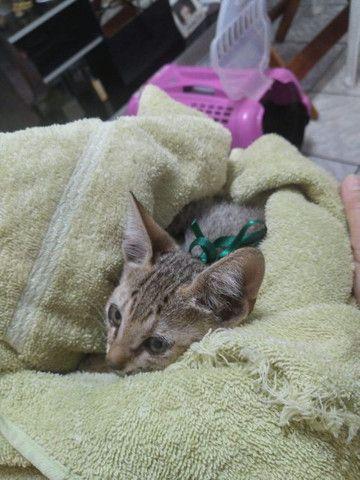 Doação gatinho (filhote)  - Foto 3