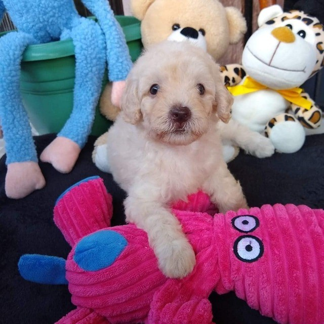 Poodle Anão Pedigree - Foto 6