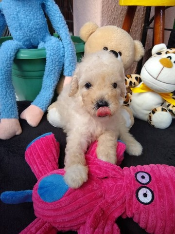 Poodle Anão Pedigree - Foto 2