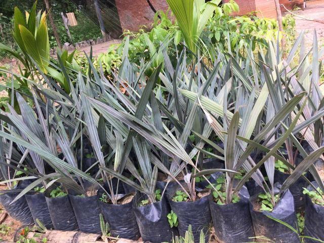 Palmeira azul (BISMARK)