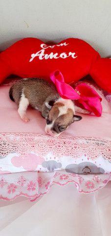 Lindos filhotes de Chihuahua - Foto 3