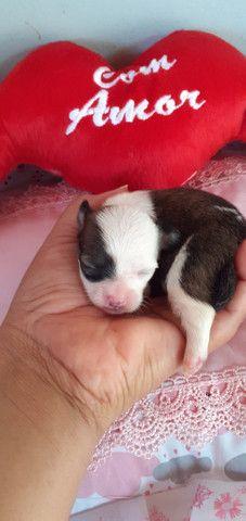 Lindos filhotes de Chihuahua