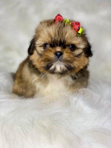 Perfeição em Fêmea com pedigree Mini Shih tzu  - Foto 2
