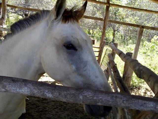 Vende-se cavalo mestiço de quarto de milha - Foto 3