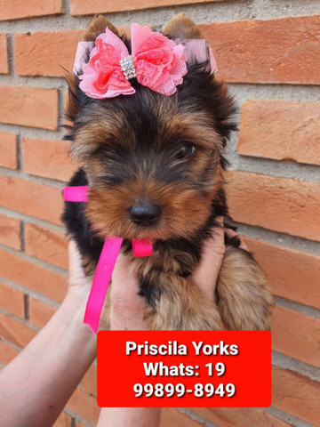 Yorkishire terrier lindíssimos - Foto 2