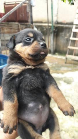 Cachorro rottweiler - Foto 4