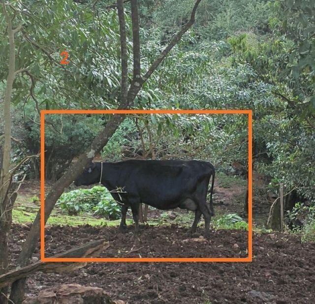 Vacas de produção leiteira - Foto 3