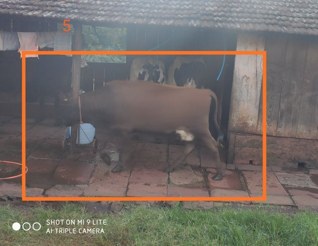 Vacas de produção leiteira