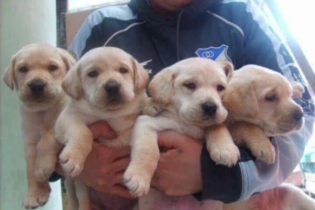 Filhotes de Labrador Champanhe Macho Parrudos - Foto 2
