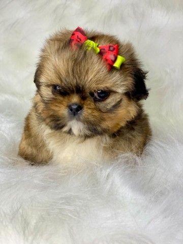 Perfeição em Fêmea com pedigree Mini Shih tzu  - Foto 5