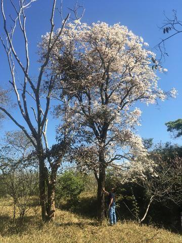 Mudas de ipê-branco (Tabebuia roseoalba) - Foto 4