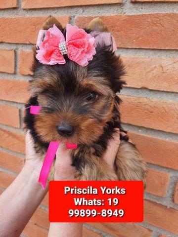 Yorkishire terrier lindíssimos