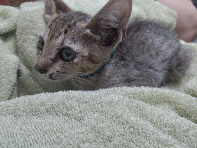 Doação gatinho (filhote)  - Foto 2