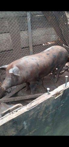 Porco 110 kilos