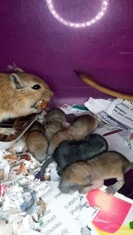 $15,00 esquilos da Mongólia