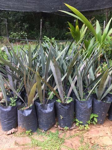Palmeira azul (BISMARK) - Foto 2