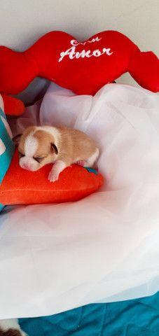 Lindos filhotes de Chihuahua - Foto 2
