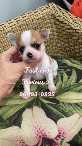 Chihuahua. Belo rapaz de Pêlo curto para reserva!!!