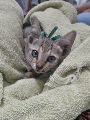 Doação gatinho (filhote)