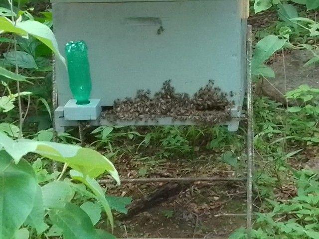 Enxame de abelha italiana. - Foto 2