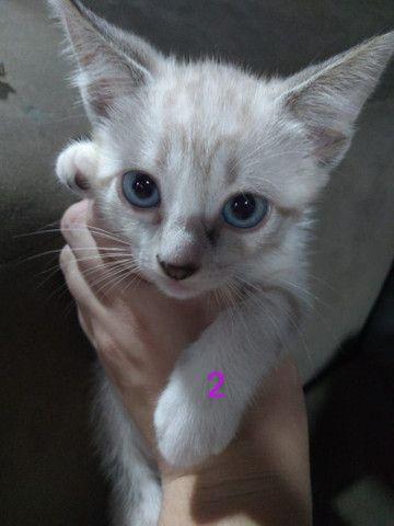 Doa-se gatinhas filhotes - Foto 2