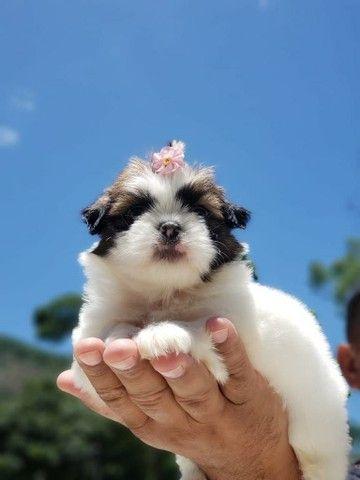Venha conhecer seu Bebê Shih Tzu Pedigree na Hora  - Foto 6