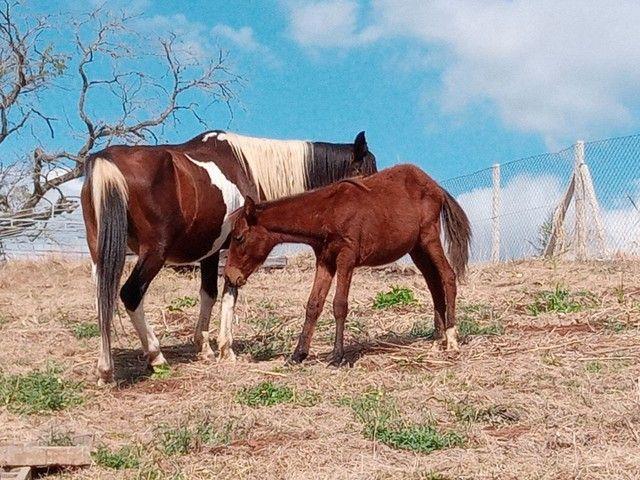 Cavalos eguas manga larga - Foto 2