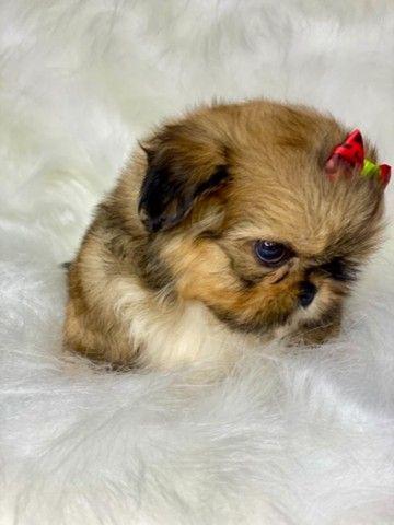 Perfeição em Fêmea com pedigree Mini Shih tzu  - Foto 6