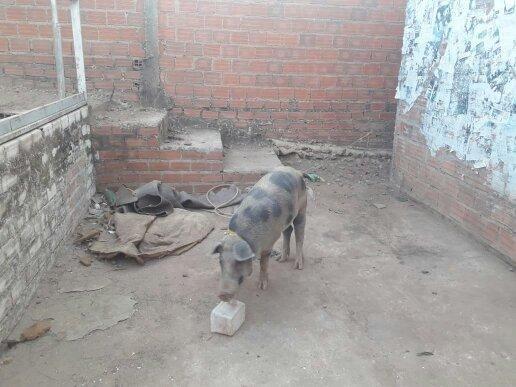 Vendo um porco raça pial