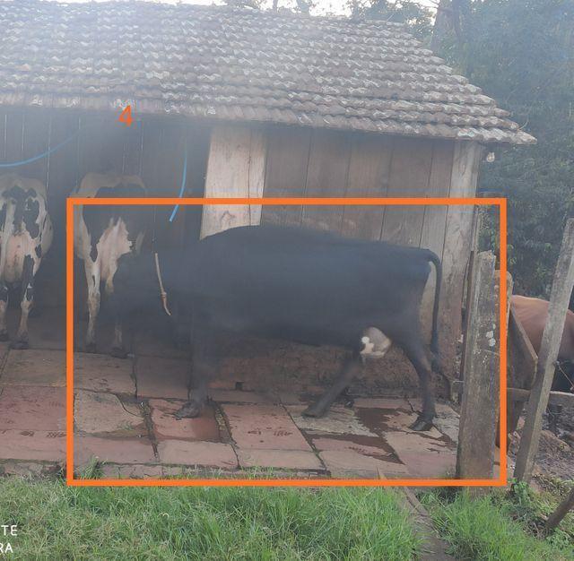 Vacas de produção leiteira - Foto 5