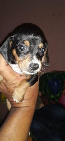 Lindos Basset miniatura com pedigree opcional. - Foto 2