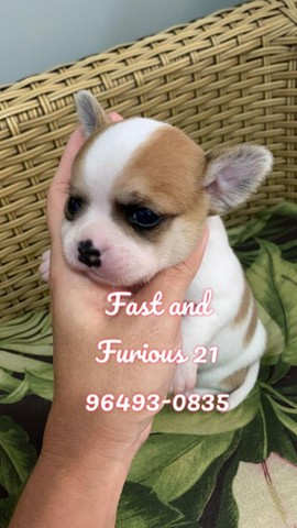 Chihuahua. Belo rapaz de Pêlo curto para reserva!!! - Foto 2