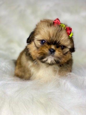 Perfeição em Fêmea com pedigree Mini Shih tzu  - Foto 3