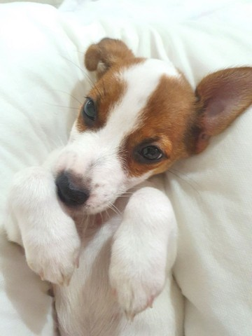 Jack Russell Terrier  - Foto 6
